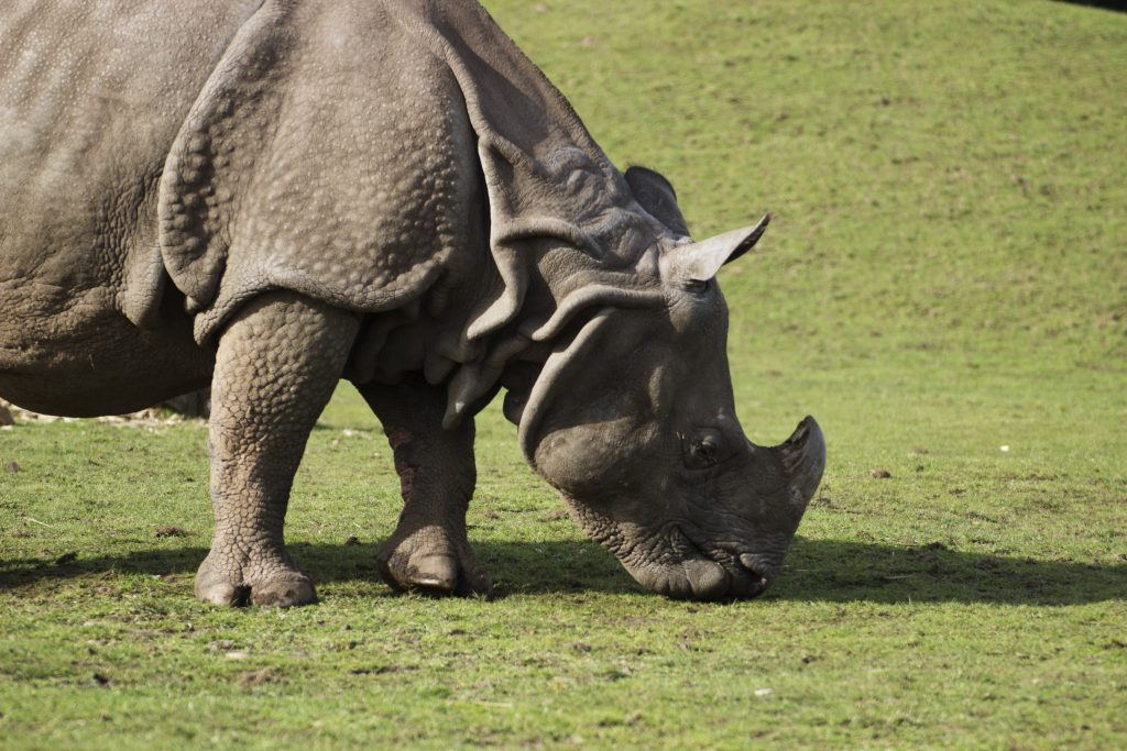 Greater One Horned Rhino Safari Park
