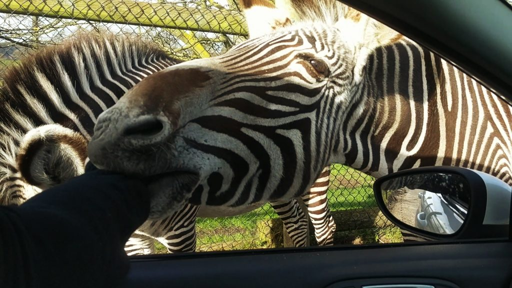 Bad Zebra Safari Park Zebra Bite