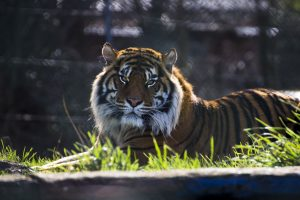 Majestic Tiger West Midland Safari Park