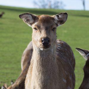 Unamused deer safari park