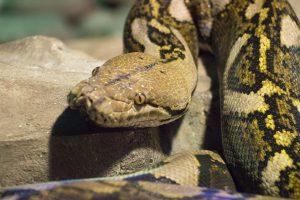 Snek Boa Constrictor Safari Park