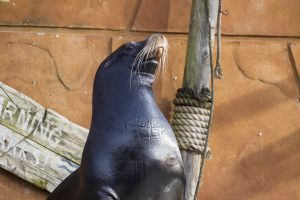 Proud Sealion