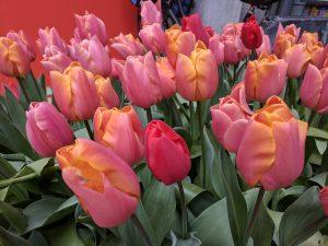 Alternative Amsterdam Things to Do Tulip Season Amsterdam
