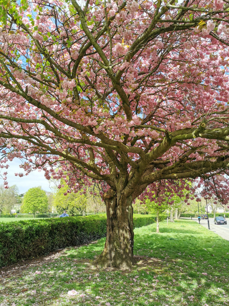 Well-being tips Cherry Blossom Tree